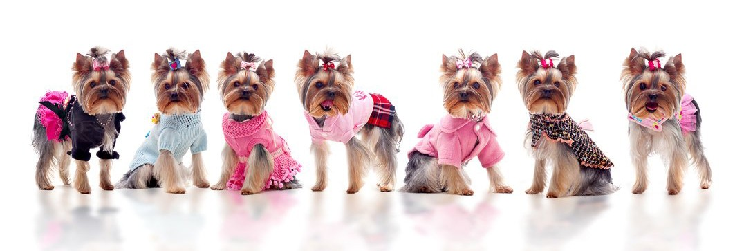 depositphotos_4456555-group-of-cute-dressed-yorkshire-terriers